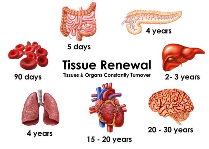 regeneratie van weefsel